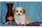 Picture of Butch / Cavachon
