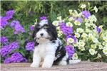 Picture of Jimmy / Cavachon