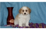 Picture of Billy / Cavachon