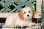 Cavachon for