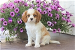 Picture of Lollipop / Cavalier King Charles Spaniel