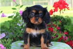 Picture of Candy / Cavalier King Charles Spaniel