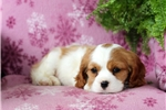 Picture of Esther / Cavalier King Charles Spaniel