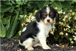 Picture of Natalie / Cavalier King Charles Spaniel