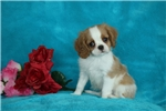 Picture of Isaiah / Cavalier King Charles Spaniel
