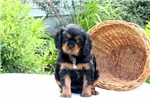 Picture of Sweetie / Cavalier King Charles Spaniel