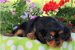 Picture of Cookie / Cavalier King Charles Spaniel