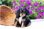 Picture of Charmer / Cavalier King Charles Spaniel
