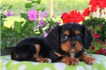 Picture of Coco / Cavalier King Charles Spaniel