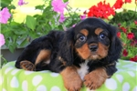 Picture of Clint / Cavalier King Charles Spaniel
