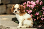 Picture of Newton / Cavalier King Charles Spaniel