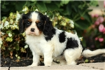 Picture of Natasha / Cavalier King Charles Spaniel