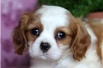Picture of Erica / Cavalier King Charles Spaniel