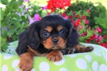 Picture of Cutie / Cavalier King Charles Spaniel