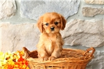 Picture of Collin / Cavalier King Charles Spaniel