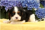 Picture of Gill / Cavalier King Charles Spaniel
