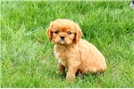 Picture of Carter / Cavalier King Charles Spaniel