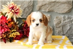 Picture of Cory / Cavalier King Charles Spaniel