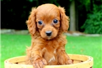 Picture of Amber / Cavapoo