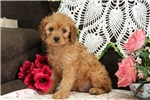 Picture of Mickey / Cavapoo