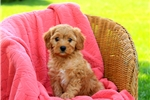 Picture of Gusto / Cavapoo