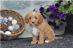 Picture of Tillie / Cavapoo