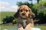 Picture of Vince / Cavapoo
