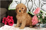 Picture of Manny / Cavapoo