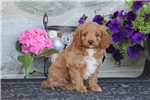 Picture of Timmy / Cavapoo