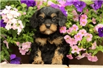 Picture of Lincoln / Cavapoo