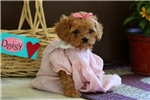 Picture of Daisy Lou / Cavapoo