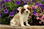 Picture of Lonnie / Cavapoo