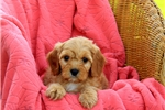 Picture of Gunther / Cavapoo