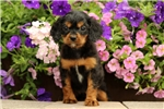 Picture of Lindy / Cavapoo