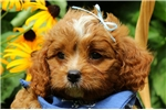 Picture of Buddy / Cavapoo