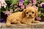 Picture of Lucy / Cavapoo