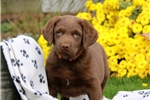 Picture of Tucker / Chesapeake Bay Retriever