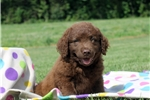 Picture of Cooper / Chesapeake Bay Retriever