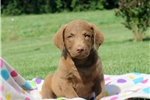 Picture of Capri / Chesapeake Bay Retriever