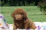 Picture of Cole / Chesapeake Bay Retriever