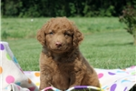 Picture of Clapton / Chesapeake Bay Retriever