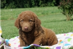 Picture of Corey / Chesapeake Bay Retriever