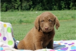 Picture of Carla / Chesapeake Bay Retriever
