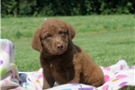 Picture of Charlie / Chesapeake Bay Retriever