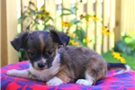 Picture of Alf / Chihuahua