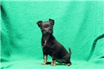 Picture of Marlene / Chihuahua