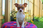 Picture of Travis / Chihuahua