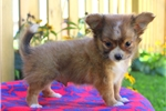 Picture of Tobby / Chihuahua