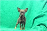 Picture of Mr. McKay / Chihuahua