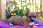 Picture of Abby / Chihuahua